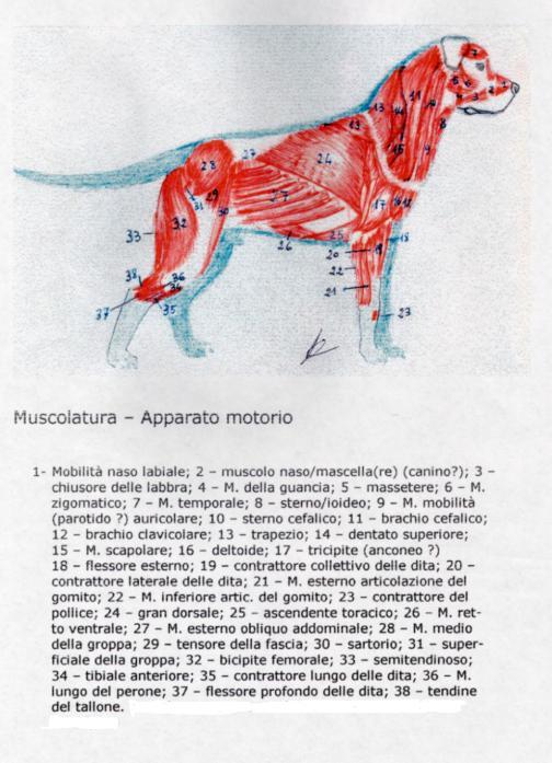 apparato-motorio-muscolatura-2