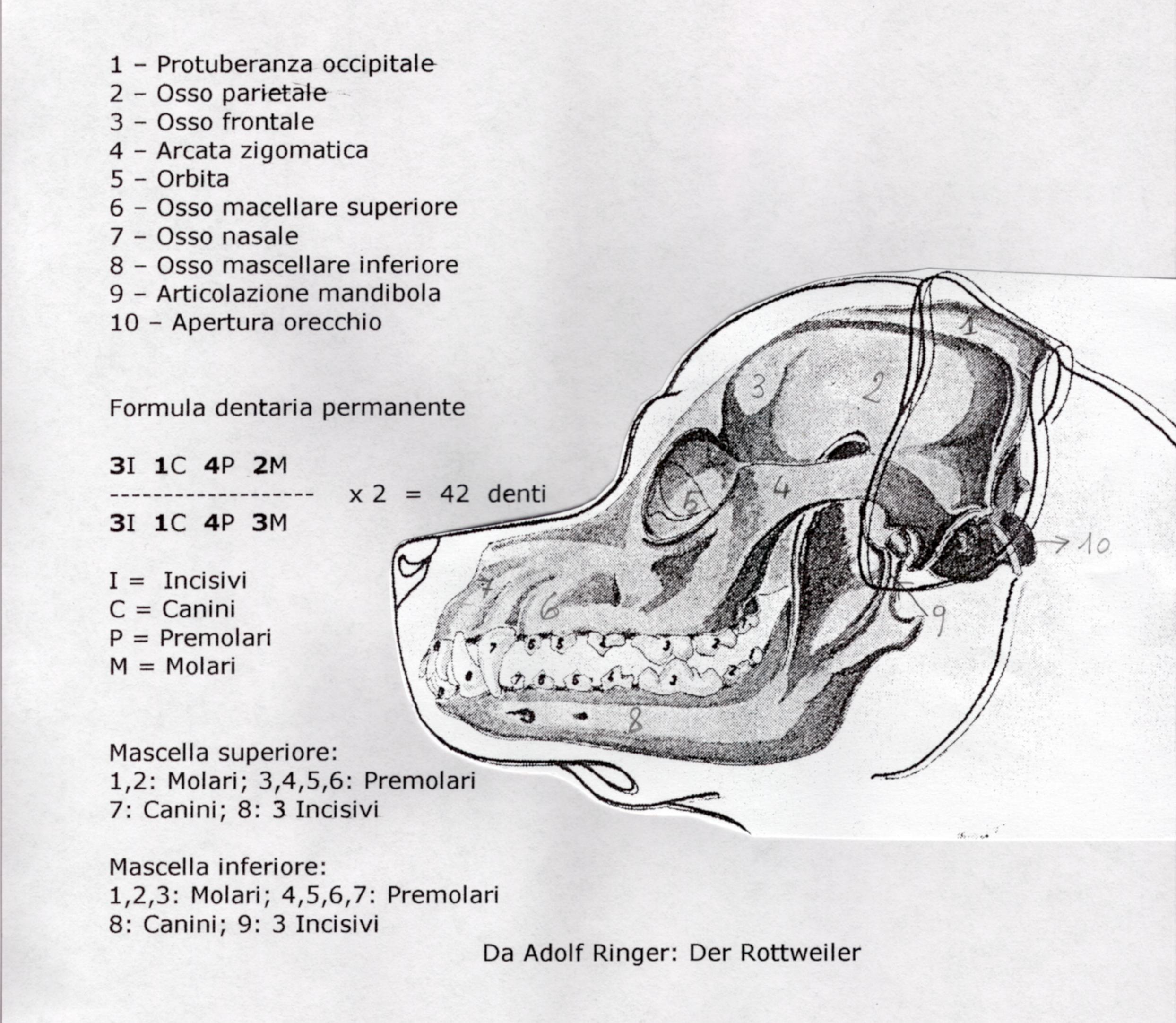 Cranio e denti Rott.jpg